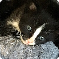 Domestic Shorthair Kitten for adoption in Tampa, Florida - Arnold