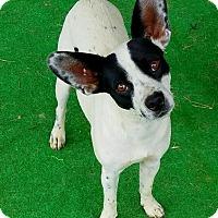 Rat Terrier Mix Dog for adoption in Graceville, Florida - Mitzi #4