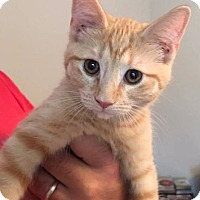 Adopt A Pet :: Orange Tabby Kittens - Chunky(female) and Fluffy (male) - Roanoke, VA