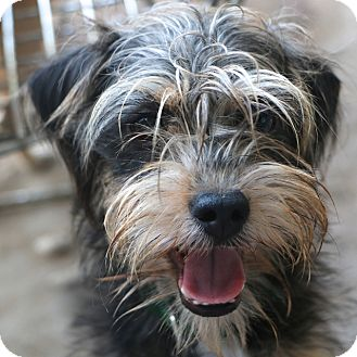 Yorkshire Terrier Nj Oslo | Adopted ...