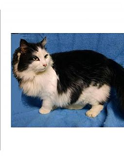 Domestic Longhair Cat for adoption in Belvidere, New Jersey - Natalie