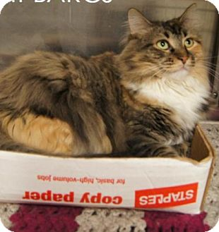 Maine Coon Cat for adoption in Baltimore, Maryland - Leilani