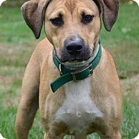 Adopt A Pet :: Ziggy - Media, PA
