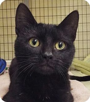 Domestic Shorthair Kitten for adoption in Grants Pass, Oregon - Boo Boo