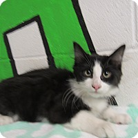 Domestic Mediumhair Cat for adoption in Rome, Georgia - 16C-1476 (11/22)