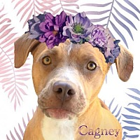 Labrador Retriever/Pointer Mix Dog for adoption in Huntington Beach, California - Cagney