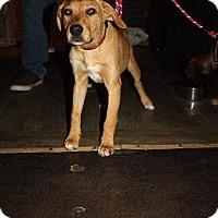 Adopt A Pet :: Ginsu - Raleigh, NC