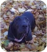Hound (Unknown Type)/Plott Hound Mix Dog for adoption in Portland, Maine - Belle is in New England!