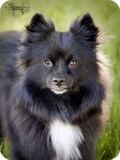 American Eskimo Dog Black