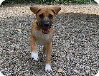 Boxer/Shepherd (Unknown Type) Mix Puppy for adoption in Fennville, Michigan - Burt