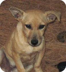Basenji/Chihuahua Mix Dog for adoption in SPARTA, New Jersey - Lance