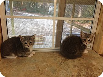 Domestic Shorthair Kitten for adoption in Aiken, South Carolina - Tom & Jerry