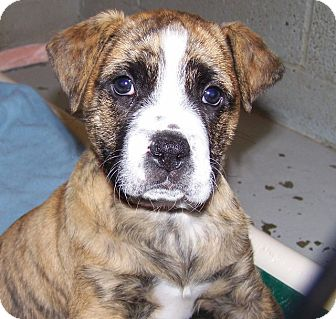 Labrador Retriever/American Staffordshire Terrier Mix Puppy for adoption in Grants Pass, Oregon - Tiger