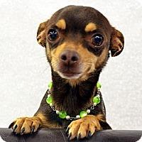 Adopt A Pet :: Rio - Bridgeton, MO
