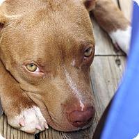 Adopt A Pet :: Fawn - Reisterstown, MD