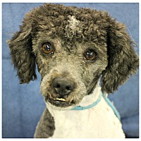 Adopt A Pet :: Buddy - Forked River, NJ