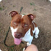 Adopt A Pet :: Red - Greensboro, NC