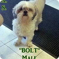 Adopt A Pet :: 1-1 Bolt - Triadelphia, WV