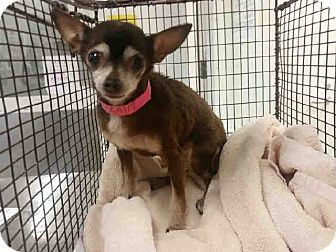 Chihuahua Dog for adoption in Studio City, California - Chaya