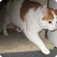 Adopt A Pet :: Pumpkin (de-clawed) - Witter, AR
