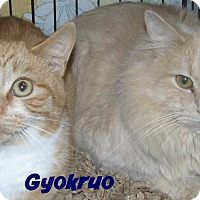 Domestic Shorthair Cat for adoption in Menomonie, Wisconsin - Gyokruo