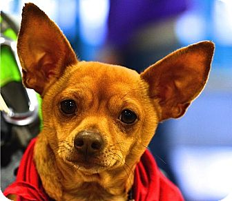 Chihuahua Mix Dog for adoption in Fairfax Station, Virginia - Jimmy