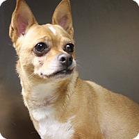 Adopt A Pet :: Poncho Villa - Greenville, SC