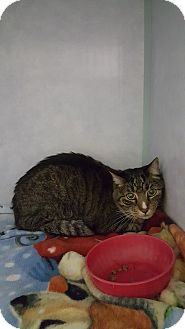 Domestic Shorthair Cat for adoption in Cody, Wyoming - Woodie