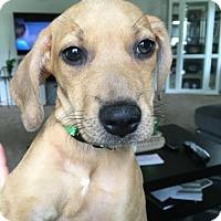 Adopt A Pet :: Hazelina-Adopted! - Detroit, MI