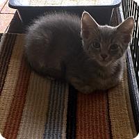 Domestic Shorthair Kitten for adoption in Scottsdale, Arizona - Toulouse