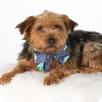 Yorkie, Yorkshire Terrier Dog for adoption in St. Louis Park, Minnesota - Kenley - Pending Adoption as of 10/25