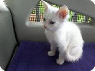 Domestic Shorthair Kitten for adoption in Kinston, North Carolina - Parfait