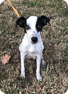 Italian Greyhound/Terrier (Unknown Type, Medium) Mix Dog for adoption in Palm Harbor, Florida - Carol