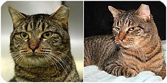 Domestic Shorthair Cat for adoption in Forked River, New Jersey - Teddy Bear