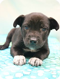 Labrador Retriever/Border Collie Mix Puppy for adoption in Bedminster, New Jersey - Petey
