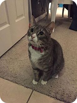 Domestic Shorthair Cat for adoption in Witter, Arkansas - Maylee (front de clawed)