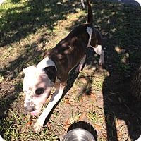 American Bulldog/Shar Pei Mix Dog for adoption in Orlando, Florida - Sabrina