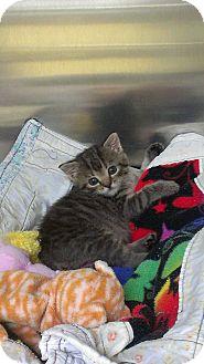 Domestic Shorthair Kitten for adoption in Richboro, Pennsylvania - Sheryl Crow