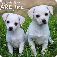 Adopt A Pet :: Puppies! - Albany, NY