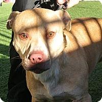 Adopt A Pet :: Raider - white settlment, TX