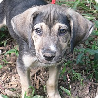 Adopt A Pet :: Harvest - Allentown, PA