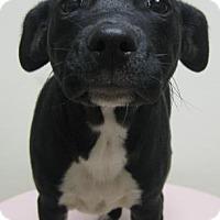 Adopt A Pet :: Gus - Gary, IN