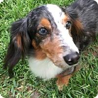 Adopt A Pet :: Dallas Draw - Houston, TX