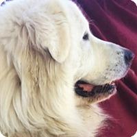 Adopt A Pet :: Blue - Kyle, TX