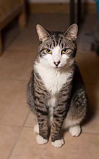American Shorthair Cat for adoption in Brooklyn, New York - Dumpling