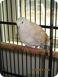 Dove for adoption in East Hartland, Connecticut - George
