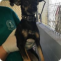 Adopt A Pet :: Olivia - El Centro, CA