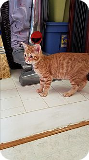 Domestic Shorthair Kitten for adoption in Nashville, Tennessee - Neptune