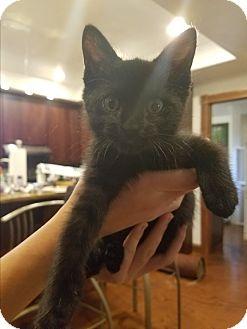 Domestic Shorthair Kitten for adoption in Grand Junction, Colorado - Leona