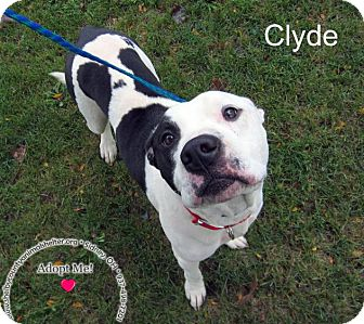 Pit Bull Terrier Mix Dog for adoption in Sidney, Ohio - Clyde